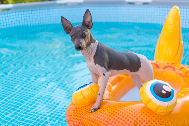 수영장에서 여름을 즐기는 아메리칸 헤어리스 테리어 개. 텍스트에 대 한 장소입니다. 개의 눈에 선택적 초점입니다.