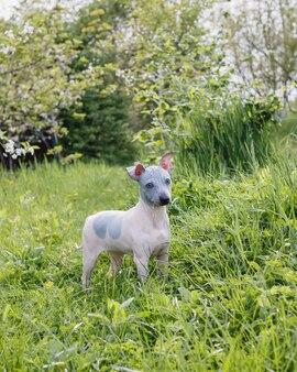 Американский голый терьер щенок на открытом воздухе в весенний или летний день.