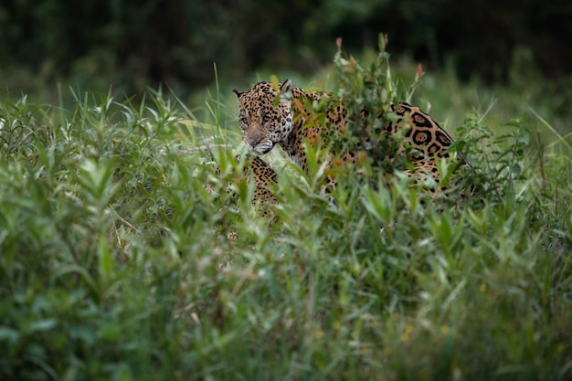 南米のジャングルの自然生息地に生息するアリゾナジャガー 無料写真