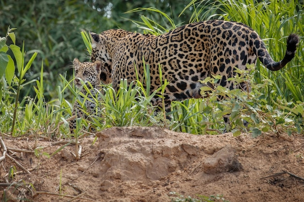 Американский ягуар в естественной среде обитания южноамериканских джунглей