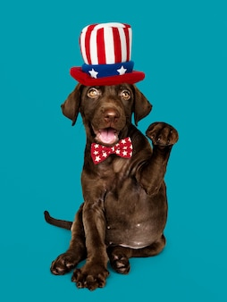American labrador puppy