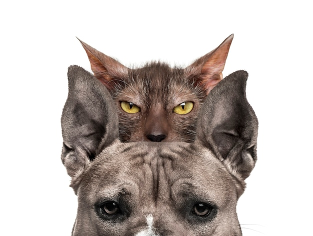 American mastiff with lykoi cat behind, in front of white surface