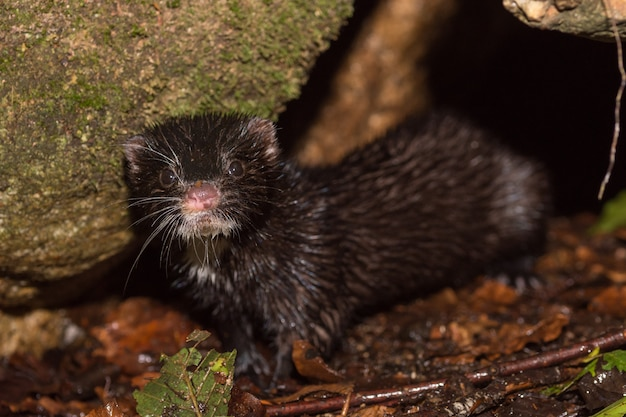 The american mink (neovison vison) in nature
