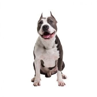 American pit bull terrier is sitting on a white