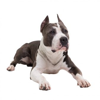 American pit bull terrier lies on a white