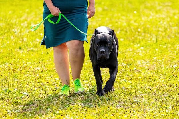 黒い毛皮のアメリカンピットブルテリア。女性はひもにつないで大きな攻撃的な犬を導きます