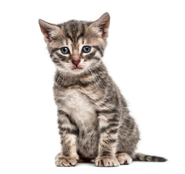 座っているアメリカの多指症の子猫、白で隔離