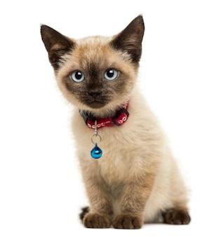 미국 polydactyl 고양이 앉아 흰색 절연 카메라를보고
