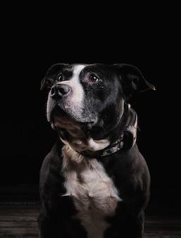 American race stafford terrier