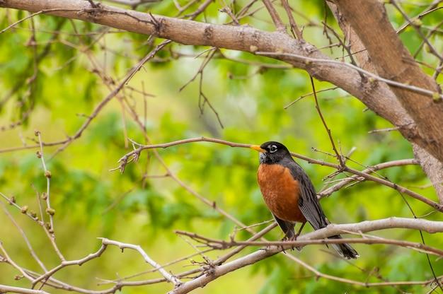 木の枝にアメリカコマドリの鳥