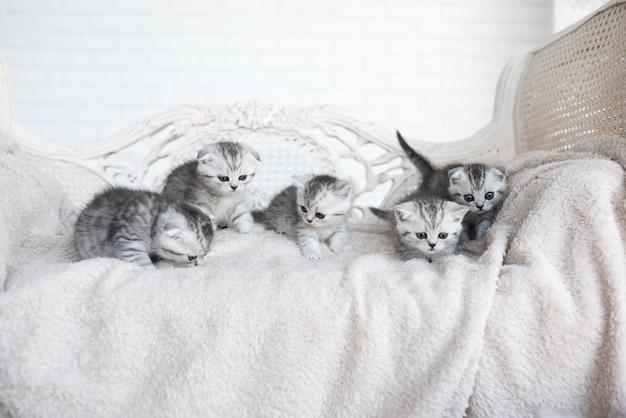 アメリカのショートヘア子猫は灰色のソファで遊ぶ