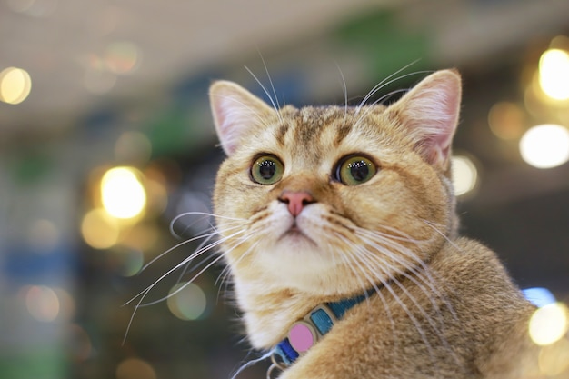 American shorthair surprised cat or kitten funny face big eyes enjoying himself.