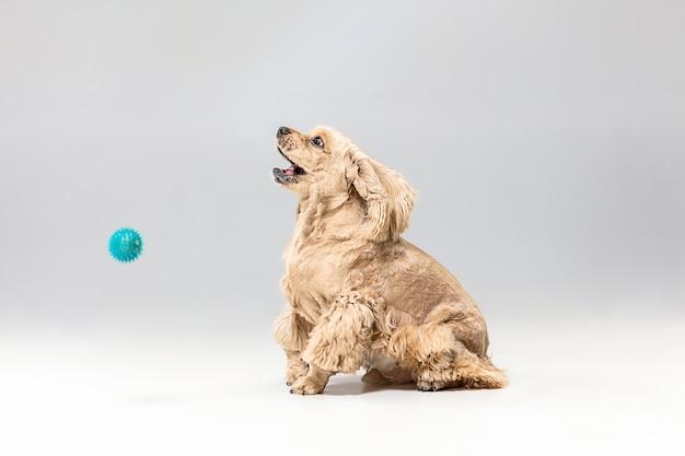아메리칸 스패니얼 강아지. 귀여운 손질 솜털 강아지 또는 애완 동물은 회색 배경에 고립 재생됩니다. 스튜디오 사진. 텍스트 또는 이미지를 삽입 할 여백입니다. 목표를 얻는 운동의 개념.