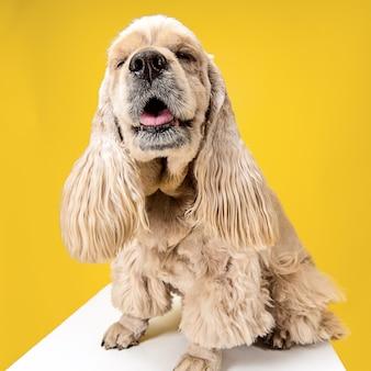 American spaniel puppy posing