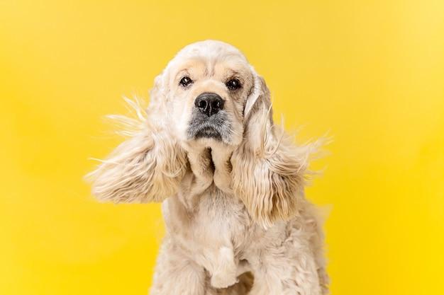 アメリカのスパニエルの子犬