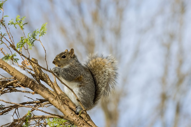 Американская белка ест орех зимой кормежкой грецкими орехами
