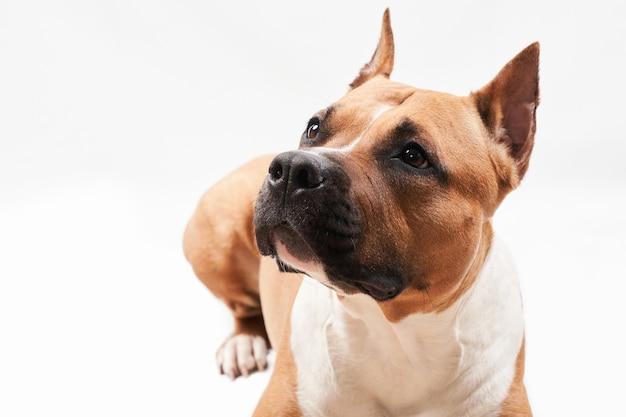 Американский стаффордширский терьер портрет, изолированные на белом фоне. крупным планом морда собаки в студии Premium Фотографии