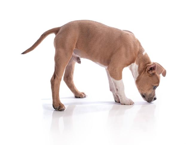 白のアメリカンスタッフォードシャーテリアの子犬