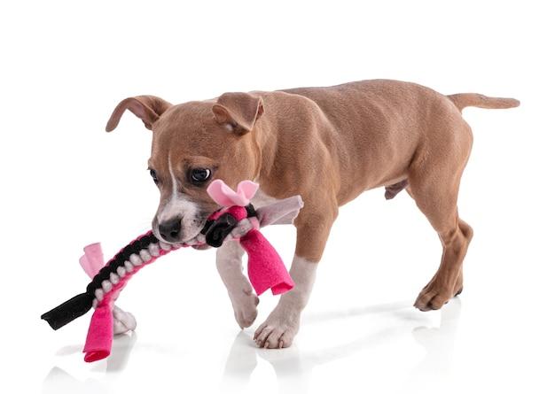 織物のおもちゃで遊ぶアメリカンスタッフォードシャーテリアの子犬