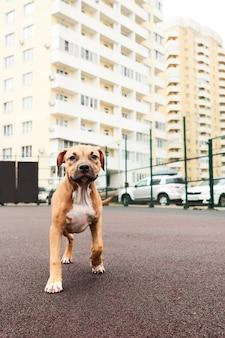 Американский стаффордширский терьер портрет щенка. счастливая собака на прогулке