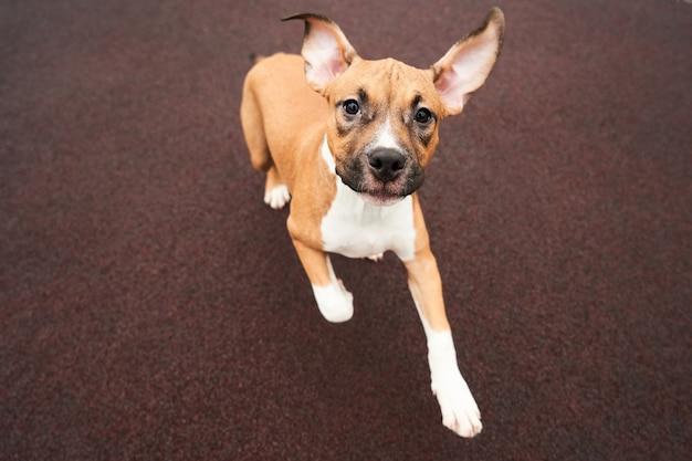Американский стаффордширский терьер портрет щенка. счастливая собака, бегущая на прогулку