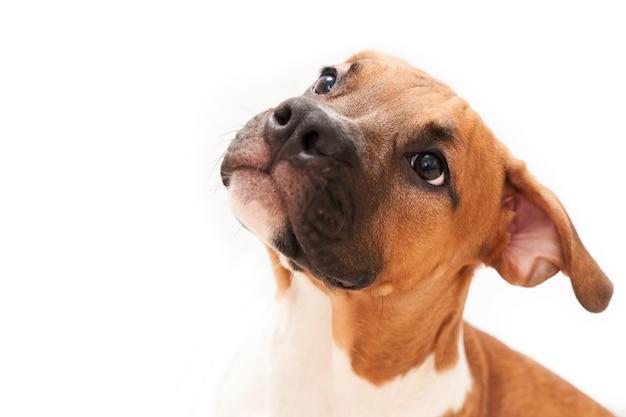 Американский стаффордширский терьер портрет щенка изолированный на белой предпосылке. крупным планом морда собаки в студии