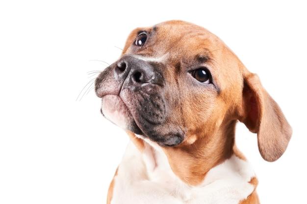 Портрет щенка американского стаффордширского терьера, изолированные на белом фоне. крупным планом морда собаки в студии