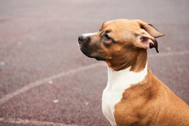 Американский стаффордширский терьер портрет щенка на прогулке. морда собаки крупным планом снаружи