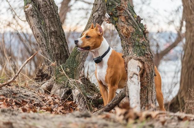 Американский стаффордширский терьер бегает по лесу. молодой взрослый стаффордширский терьер в парке