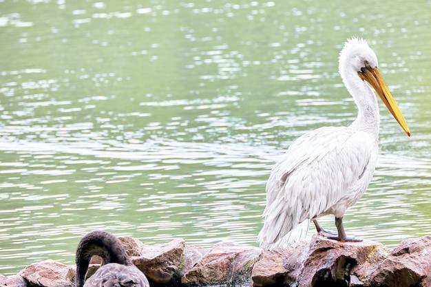 Американский белый пеликан (pelecanus erythrohynchos).