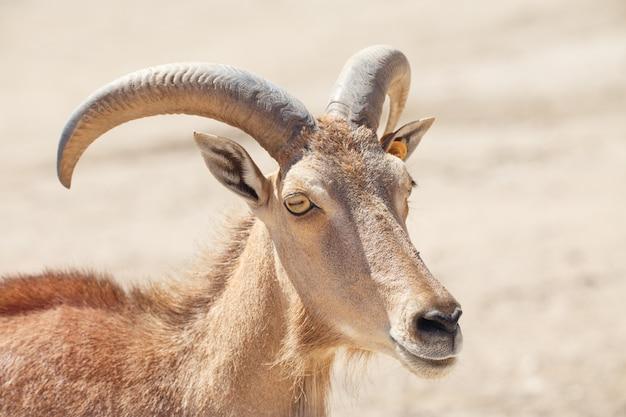 バーバリ羊、ammotragus lerviaまたはarruiのクローズアップ