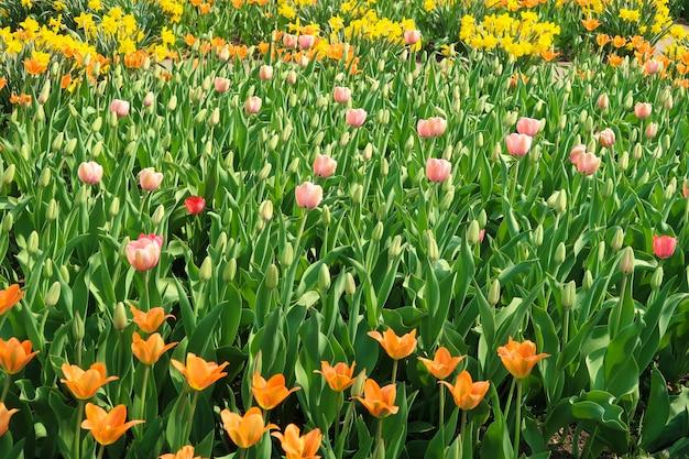 他のチューリップのamongの中で花壇に咲いたオレンジ色のチューリップの花