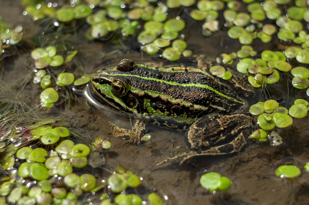 Amphibian in water with duckweed