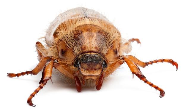 Летний майский жук или европейский июньский жук - amphimallon solstitiale