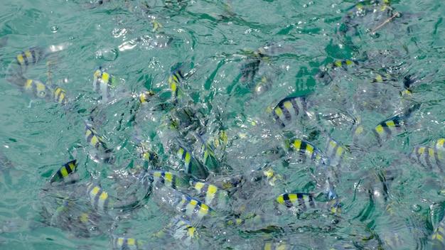 Amphiprion,  premnas, cartoon fish together