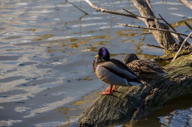 Ampurdãƒâƒã'â¡n、ジローナ、カタルーニャ、スペインの沼地の自然公園内のマガモ(anas platyrhynchos)のカップル