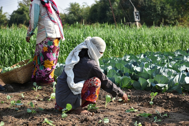 Amravati, maharashtra, india, 3 february 2017 : unidentified indian farm worker planting cabbage in field and holding bunch of small plant of cabbage in hands at the organic farm.