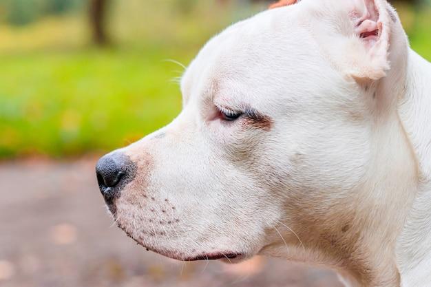 Амстафф собака на прогулке в парке. большая собака. яркая собака. светлый цвет. домашний питомец.