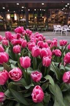 アムステルダムとピンクのチューリップ-通りの花