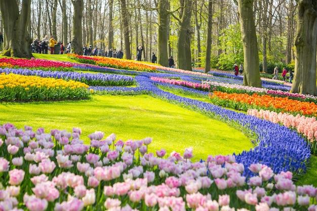 암스테르담, 네덜란드-2017년 4월 20일: 튤립 꽃 keukenhof 농장. 네덜란드 암스테르담의 봄 시즌.