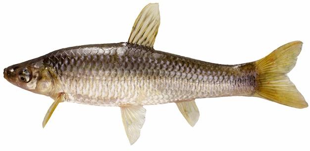 아무르 체바초크. 민물고기 흰색 절연입니다.
