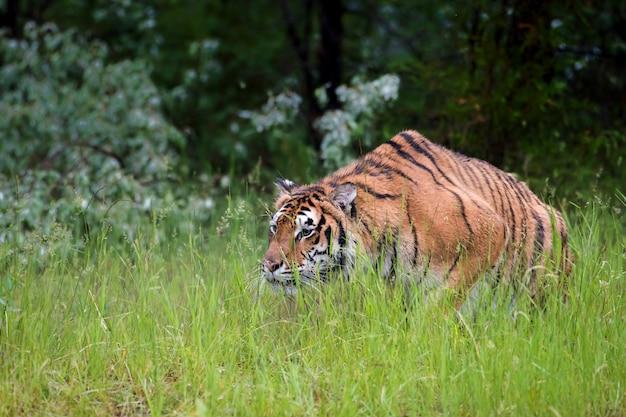 Amur tiger stalking through the grass