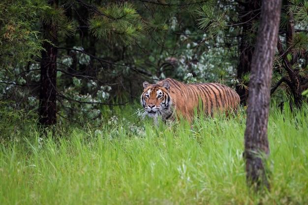 松林の長い草を忍び寄るアムールトラ