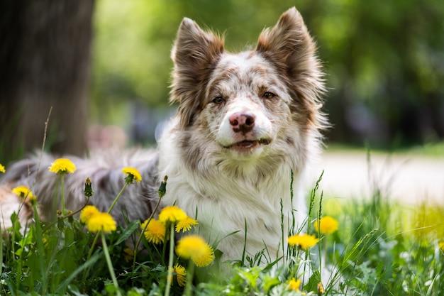 黄色い花を持つ大人のオーストラリアンシェパード犬が牧草地に横たわっています。公園で犬の肖像画。ぼやけた背景、クローズアップ。