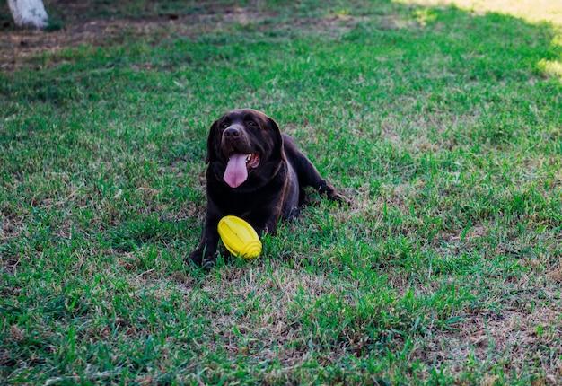 성인 갈색 래브라도가 공원에서 달리고 있습니다. 개는 노란색 고무 공을 가지고 놀고, 점프하고 즐겁게 놀고 있습니다. 애완 동물.