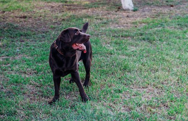 성인 갈색 래브라도가 공원에서 달리고 있습니다. 개는 장난스럽게 점프하고 재미 있습니다. 애완 동물.
