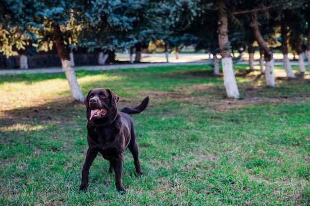 성인 갈색 래브라도가 공원에서 달리고 있습니다. 개는 장난스럽게 점프하고 재미 있습니다.