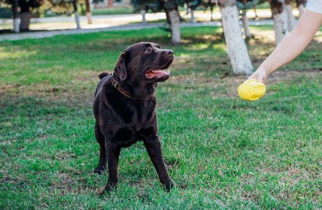 성인 갈색 래브라도가 공원에서 달리고 있습니다. 주인은 개에게 노란색 고무공을 줍니다. 애완 동물.