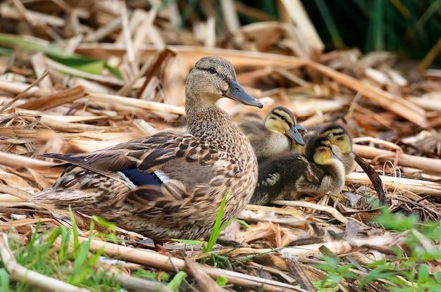 池の近くの乾いた杖の上でアヒルの子と休んでいる大人のアヒルの子