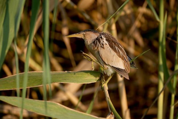 Взрослая самка маленькая выпь была снята в необычной позе с причудливо изогнутой шеей в утреннем свете.